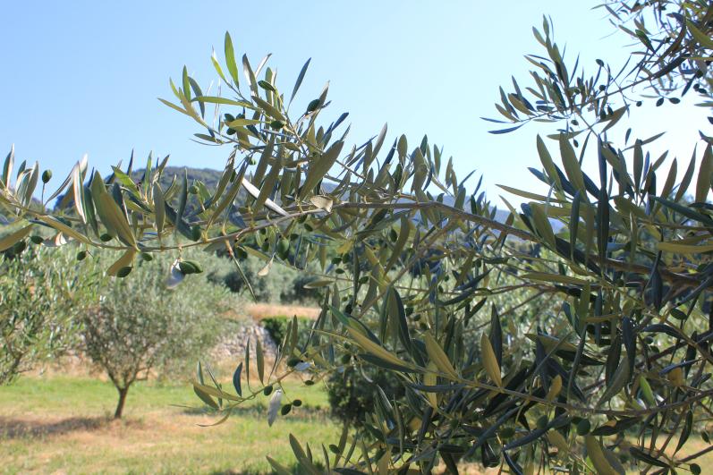 Cearitis, la start-up de Marion Canale (Sup'Biotech promo 2019) qui protège les oliviers
